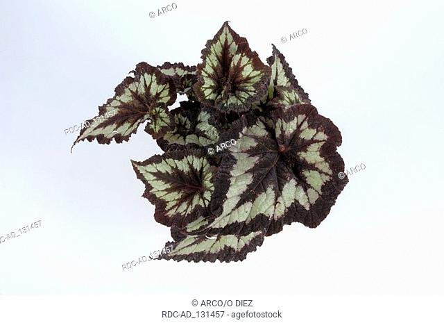 Begonia  'China Curl' Begonia hybride Begoniaceae