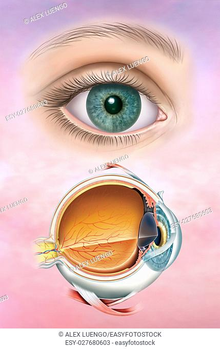 Illustration composed by the human eye and first, the anatomy of the eye with its structure and layers