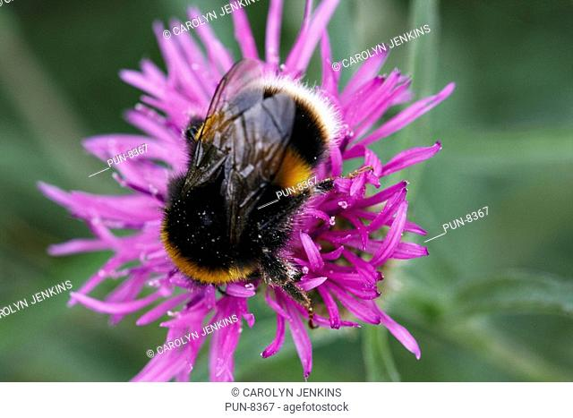 Buff-tailed bumble bee Bombus terrestris collecting pollen from greater knapweed Centaurea scabiosa in August