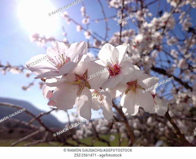 Almond tree. Blossom (Prunus dulcis)