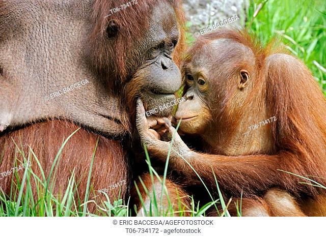 Female orang-utan and her young (Pongo pygmaeus pygmaeus) native to Borneo, captive, IUCN Red list Endangered EN