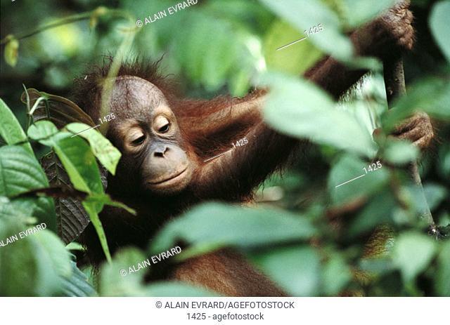 Orang-utan. Borneo