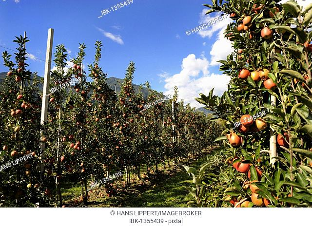 Apple growing in Bressanone, Trentino, South Tyrol, Italy, Europe