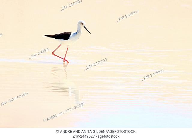 Black-winged Stilt (Himantopus himantopus) foraging in water with reflection, Sossusvlei, Namibia
