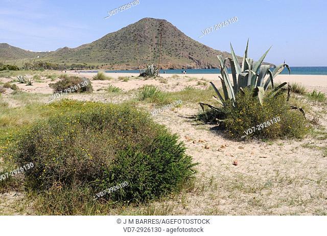 Ensenada y playa de Los Genoveses with psammophile vegetation. Cabo de Gata-Nijar Natural Park, Almeria province, Andalucia, Spain