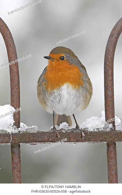 European Robin Erithacus rubecula adult, perched on snow covered garden gate, Scotland, winter