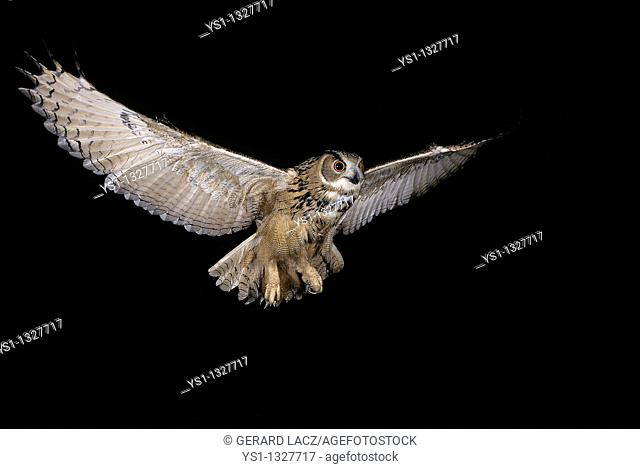 EUROPEAN EAGLE OWL bubo bubo, ADULT IN FLIGHT, NORMANDY IN FRANCE