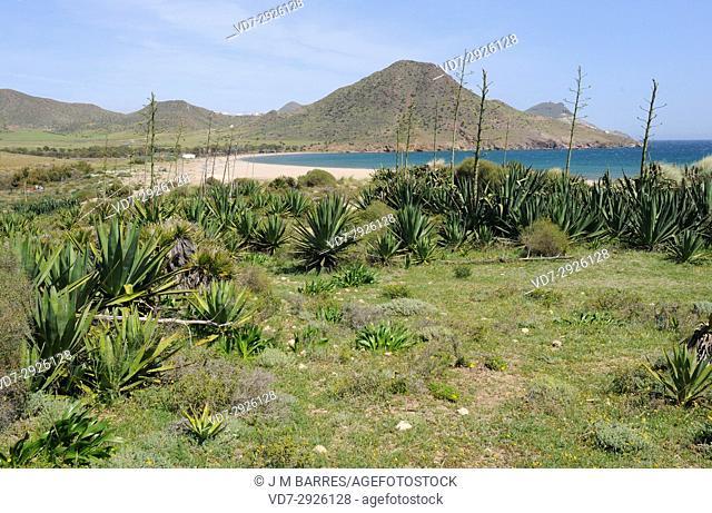 Ensenada y playa de Los Genoveses with naturalised sisal plants (Agave sisalana). Cabo de Gata-Nijar Natural Park, Almeria province, Andalucia, Spain
