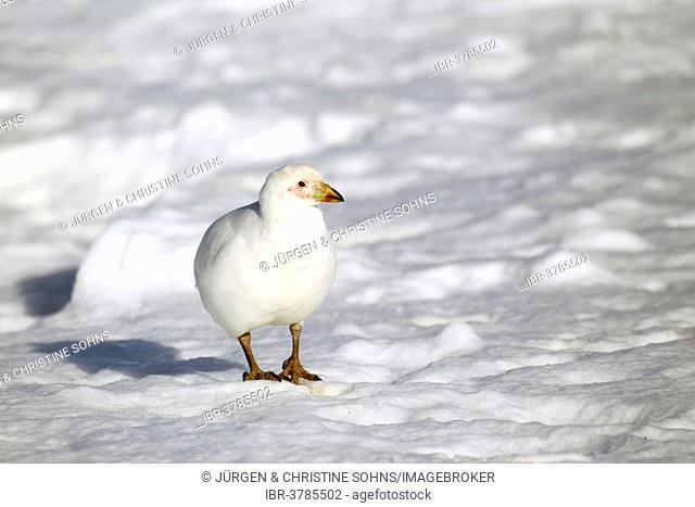 Snowy Sheathbill (Chionis alba), adult, Weddell Sea, Antarctica