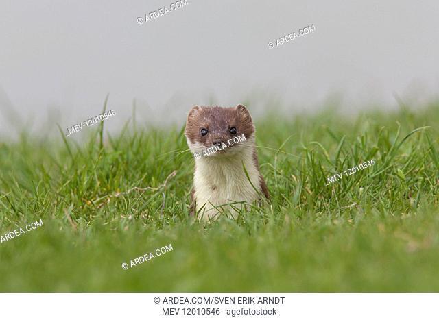 Stoat / Ermine - adult animal - Austria