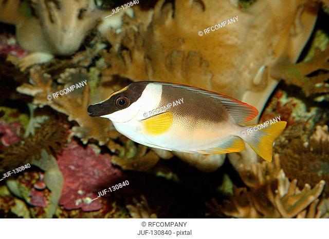 Onespot rabbitfish / Siganus unimaculatus