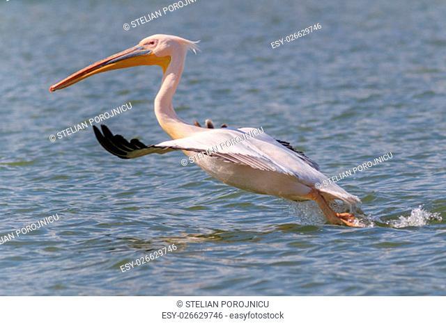 white pelican (pelecanus onocrotalus) in flight in Danube Delta, Romania