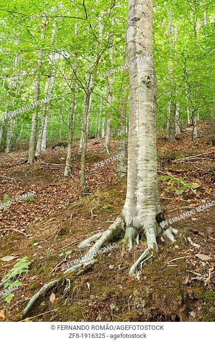 European Beech forest at Estrela Mountain Natural Park, Portugal