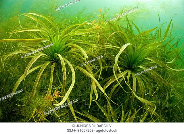 Water Soldier, Water Aloe (Stratiotes aloides) under water. Germany