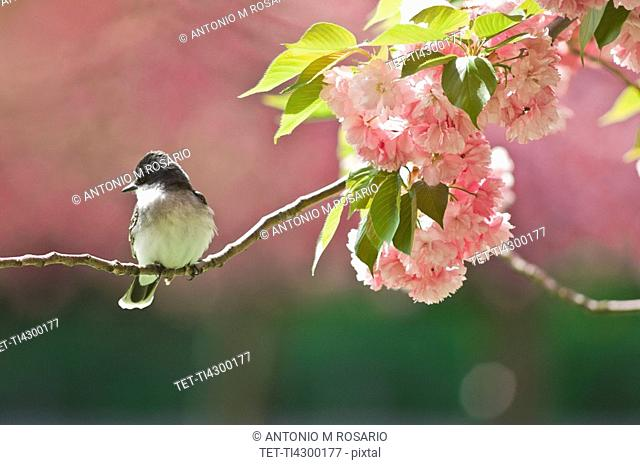 Kingbird perched on cherry tree branch