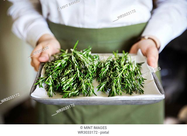 Close up of person wearing apron holding tray with fresh rosemary