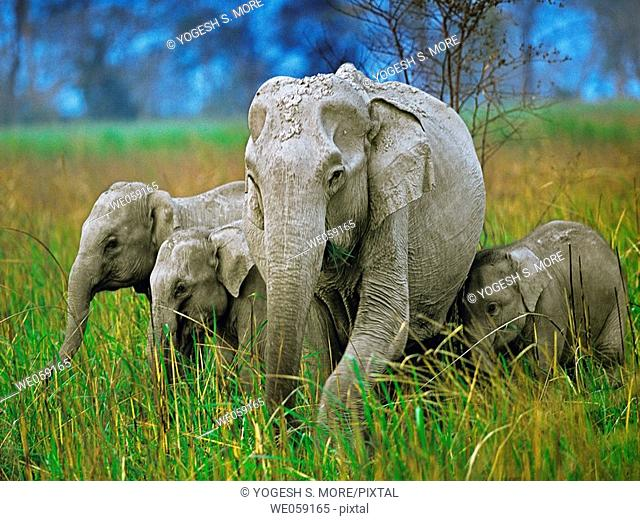 Indian elephant, Elephas maximus, with their calf. Bandipur Wildlife Sanctuary, Karnataka, India