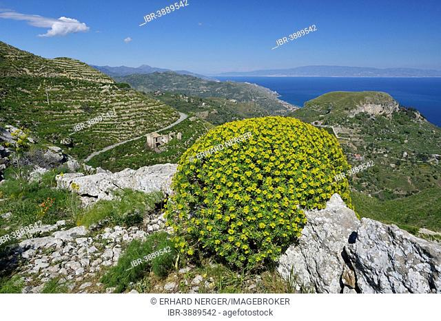 Tree Spurge (Euphorbia dendroides), Province of Messina, Sicily, Italy