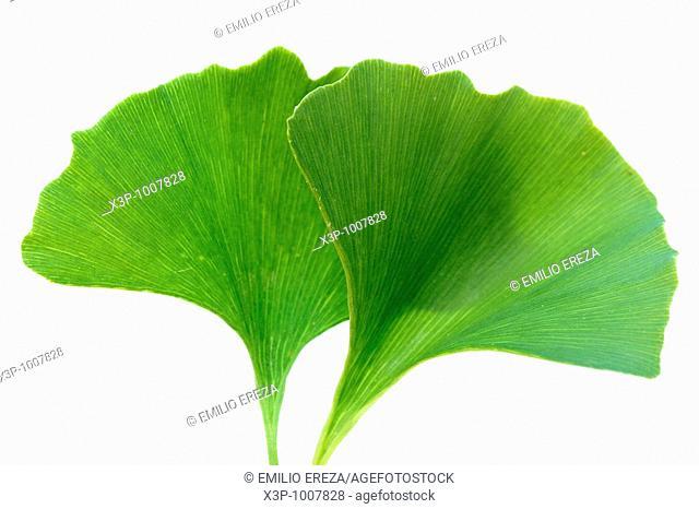 Maiden hair tree Ginkgo biloba