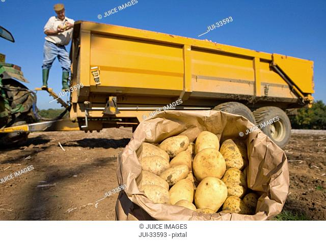 Close up of sack of potatoes in sunny, rural field and farmer on trailer in background