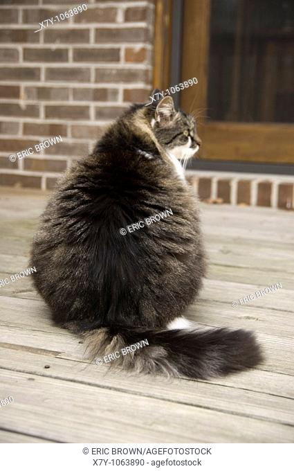 A Maine Coon cat sits--rear view