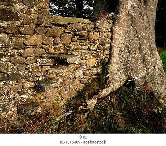 Larchill Arcadian Garden, Co Kildare, Ireland, Tree growing into a stone wall