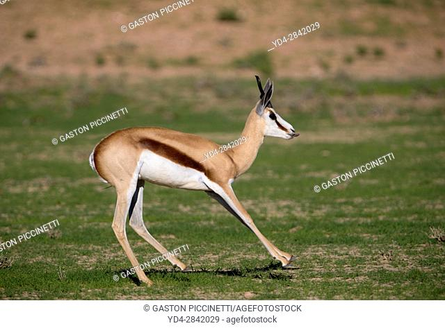 Springbok (Antodorcas marsupialis) jumping, Kgalagadi Transfrontier Park in rainy season, Kalhari Desert, South Africa/Botswana