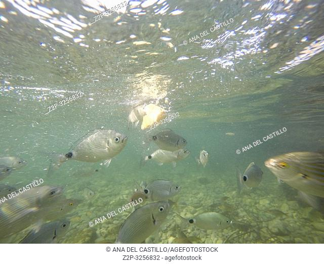 Underwater Las Rotas beach San Antonio cape in Denia Alicante Province Spain. Diplodus annularis and oblada melanura