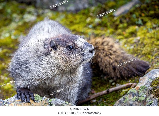 Hoary Marmot (Marmota caligata), Jasper National Park, Alberta, Canada