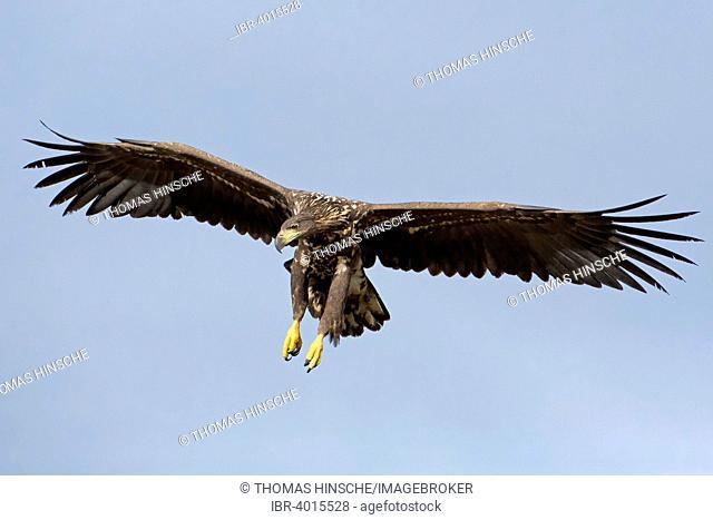 White-tailed Eagle (Haliaeetus albicilla), juvenile, gliding, Poland