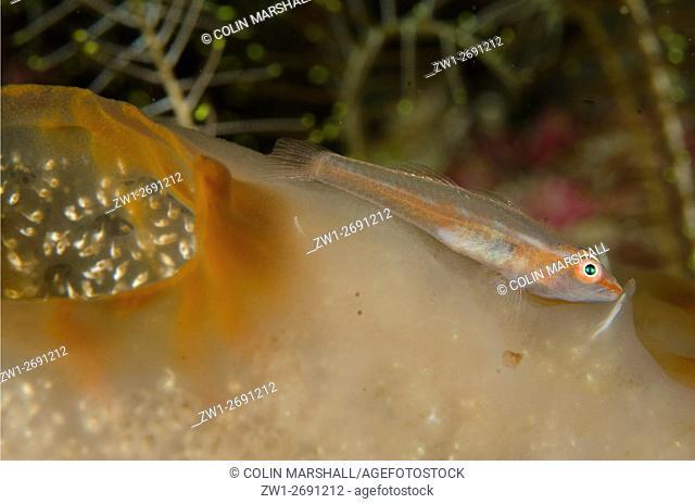 Loki Whip Goby (Bryaninops loki) on Sea Squirt, White Arrow dive site, Waigeo Island, Aljui Bay, Raja Ampat (4 Kings), West Papua, Indonesia