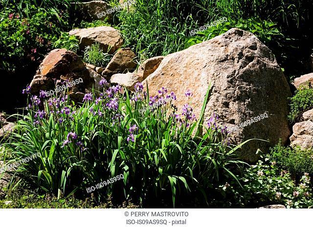 Purple Iris flowers bordered by large rock in backyard garden in spring season