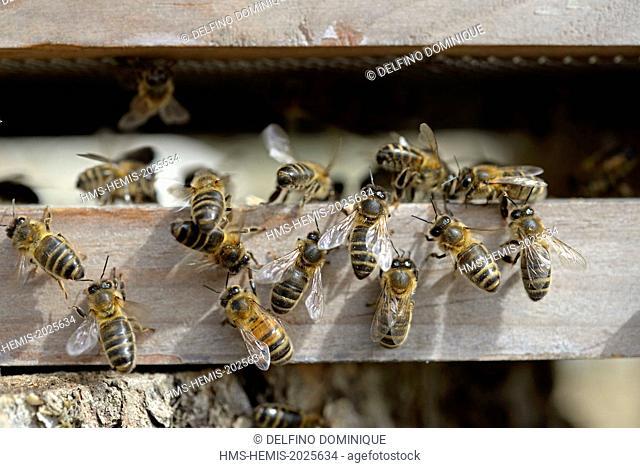 France, Haute Saone, European bee (Apis mellifera) at the entrance of a hive