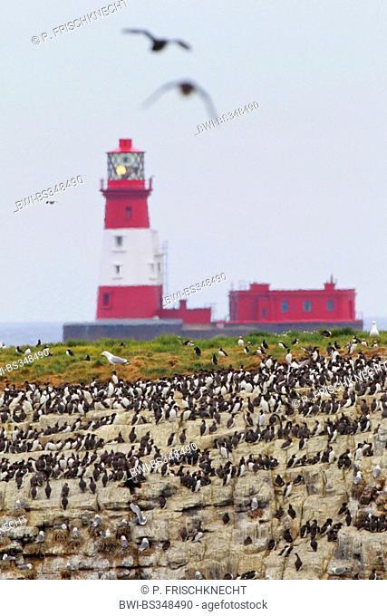 Longstone Rock lighthouse with nesting colony, United Kingdom, England, Farne Islands