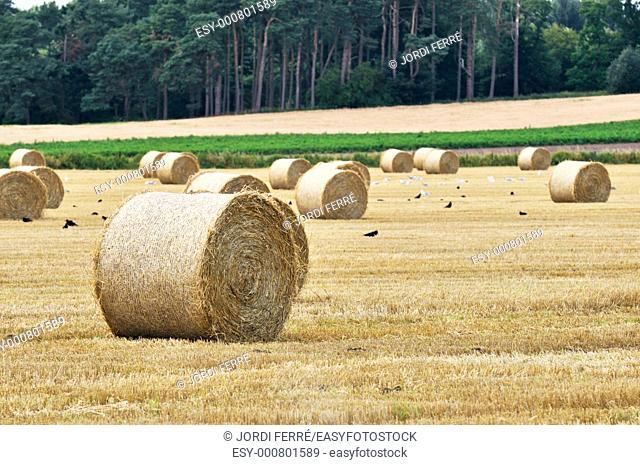 Barley field, Highlands, Scotland, United Kingdom, Europe