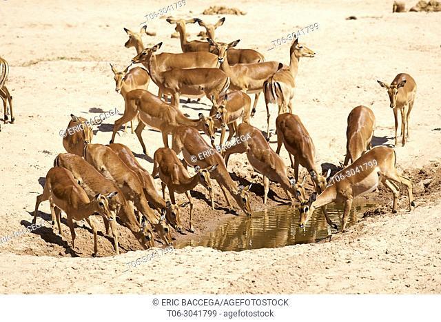 Impala herd with females (Aepyceros melampus) drinking at waterhole, dry season, Samburu National Reserve, Kenya, Africa