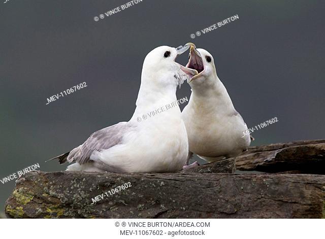 Fulmar pair greeting . Shetland Islands, UK