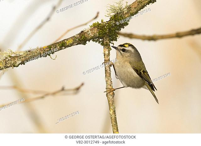 Golden-crowned kinglet (Regulus satrapa), Willamette Mission State Park, Oregon