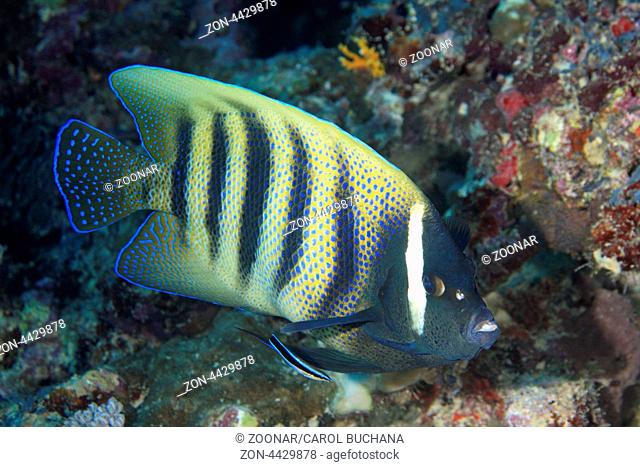 A Six Banded Angelfish, Pomacanthus sexstriatus, being cleaned by a Bluestreak Cleaner Fish, or Cleaner Wrasse, Labroides dimidiatus