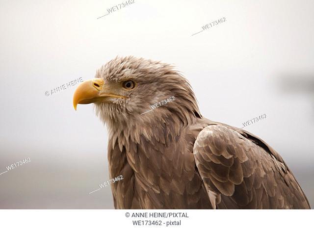Sea Eagle head. Captive in Greifenwarte Burg Guttenberg, Germany