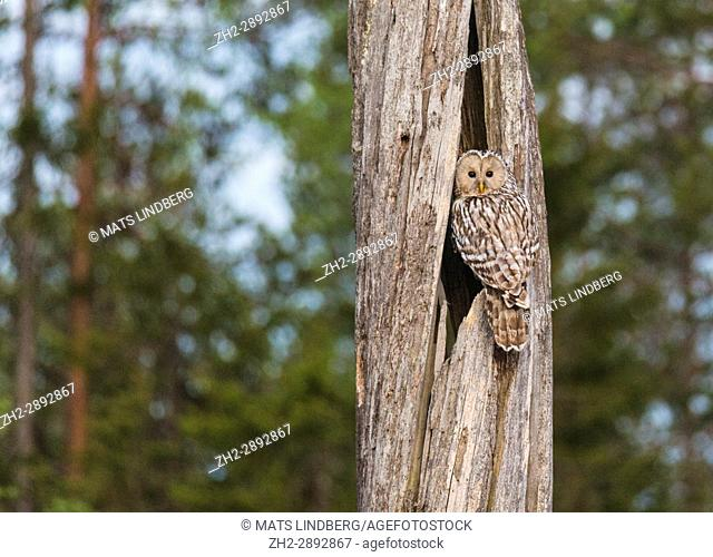 Ural owl, Strix uralensis sitting at his nest in an old tree trunk looking in to the camera, Norrbotten, Sweden