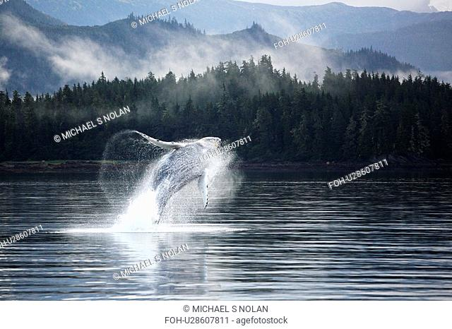 Humpback Whale Megaptera novaeangliae calf breaching in Hobart Bay, Southeast Alaska, USA. Pacific Ocean