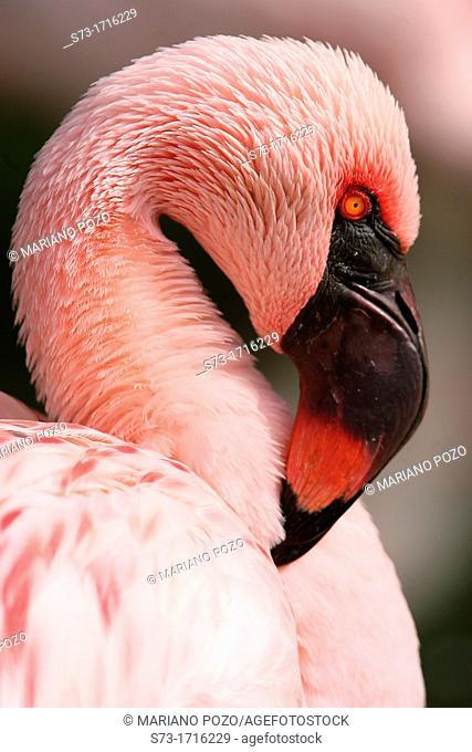 Pink flamingo. Phoenicopterus ruber roseus