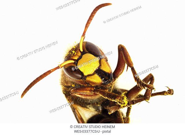 Hornet, close-up