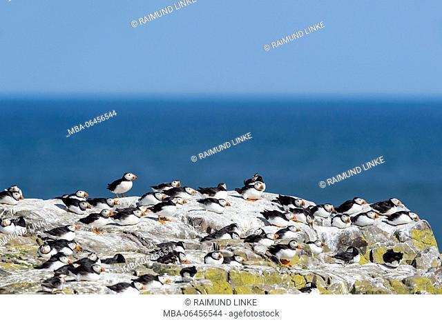 Atlantic Puffin, Fratercula arctica, Colony, Farne Island, Northumberland, England, UK, Europe