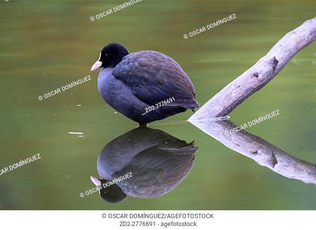 Common Coot (Fulica atra) standing on water. Lower Silesia. Poland