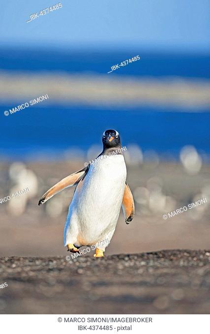 Gentoo penguins (Pygoscelis papua papua) walking, Sea Lion Island, Falkland Islands, South Atlantic