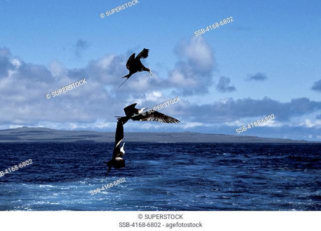 ecuador, galapagos islands espanola hood island, frigate birds in flight fighting for food