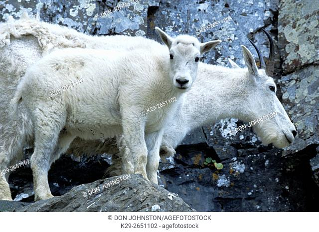 Mountain goat (Oremanus americanus) Nanny and kid, Glacier National Park, MT, USA