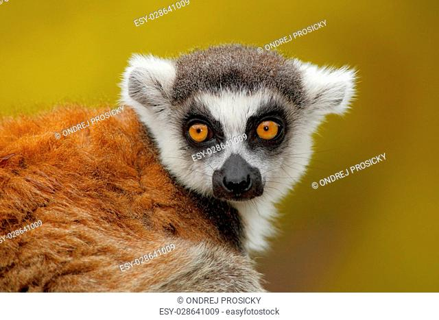 Portrait of Ring-tailed Lemur, Lemur catta, with yellow clear background